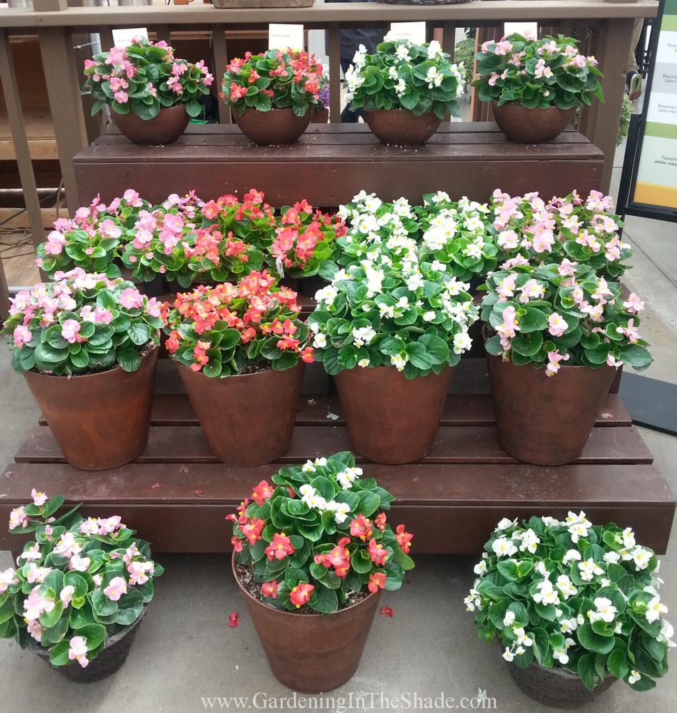Municipal Hanging Flower Baskets : Hybrid or interspecific begonia gardening in the shade